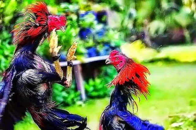 Agen Judi Sabung Ayam Maxbet